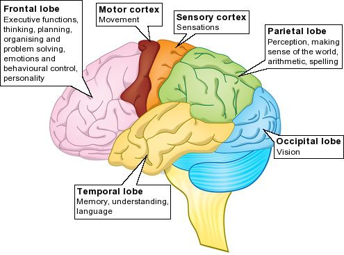 Brain Lobe Function - First Memory Clinic